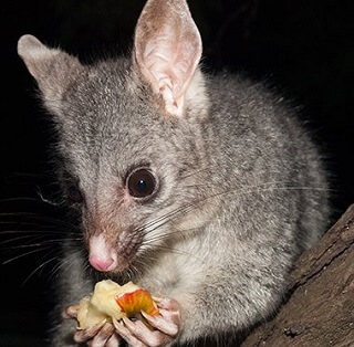 Australian Bush Tailed Possum