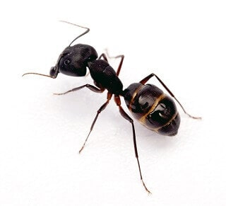 Ant Pest Control Removal In Melbourne Get Rid Of Ants