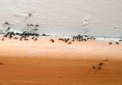 Ants removal in house