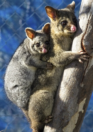 Baby Possum and Mother