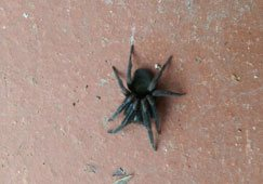 Mouse Spider Removal in Melbourne