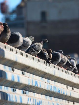 Pigeon In A Crowd