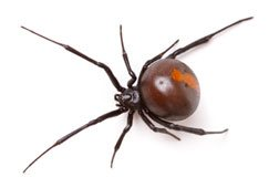 Get rid of redback spiders