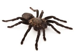 Tarantula or Whistling Spiders
