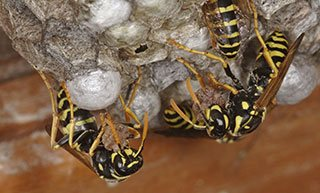 Wasp Control in Melbourne