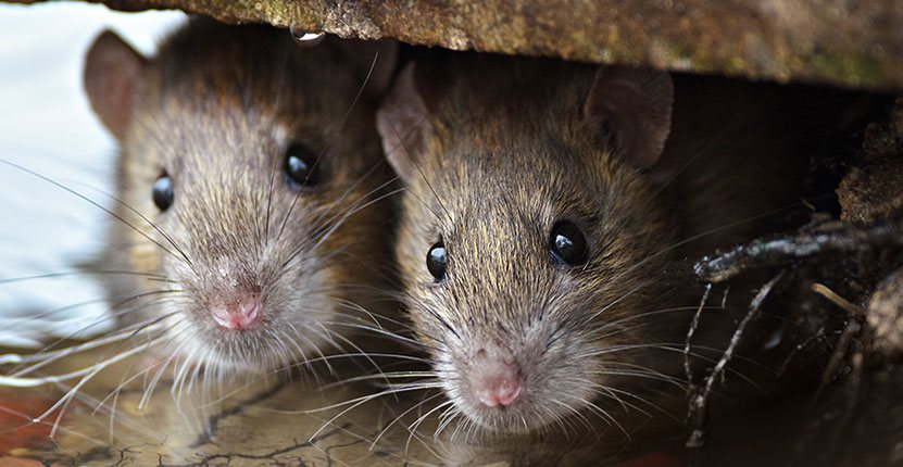 Why Finding a Rat in Your Home Is More Dangerous Than You Think