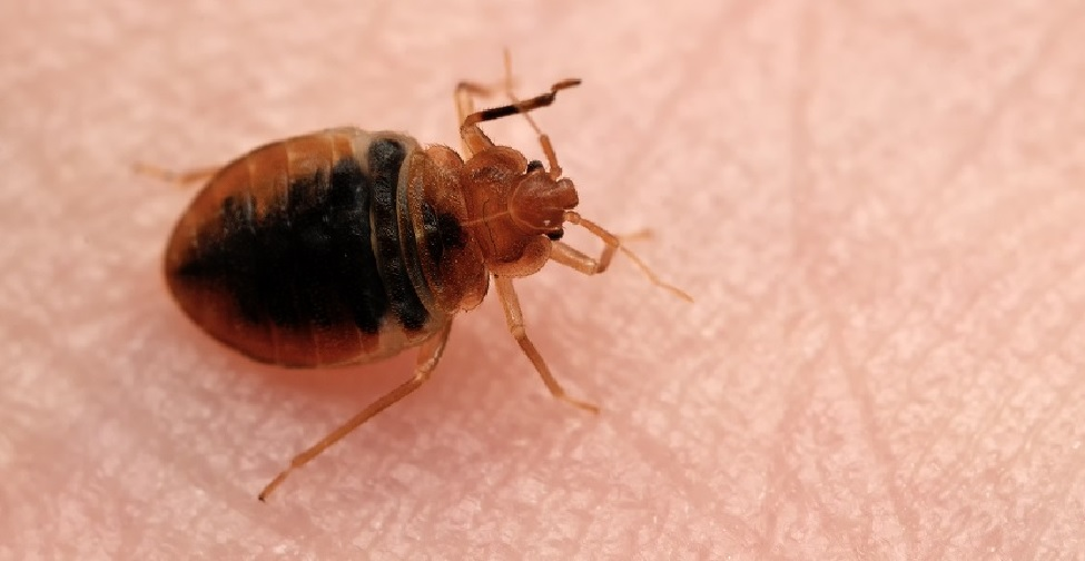 How to Differentiate Between Fleas and Bed Bugs? Find Out