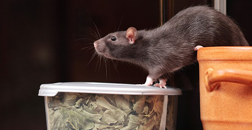 Did You Know Mice and Rats in Your Home and Office Can Silently Kill You?