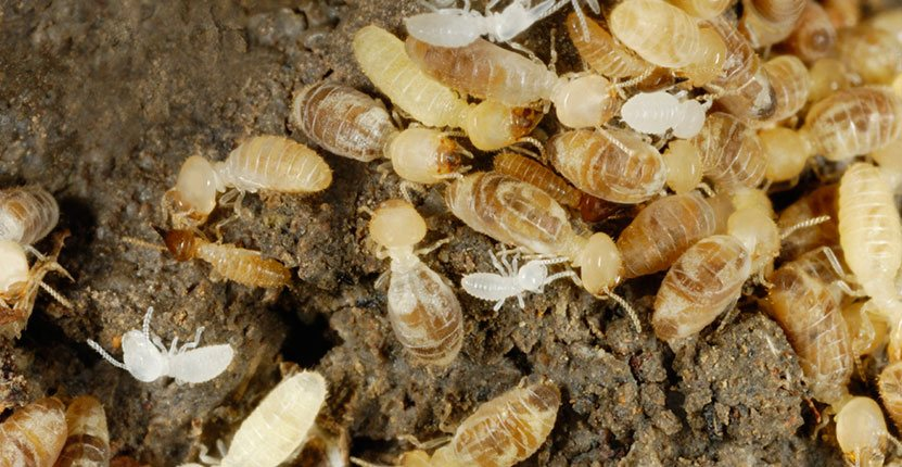 You'll Need this Advice when You Fight-Back Against Termites