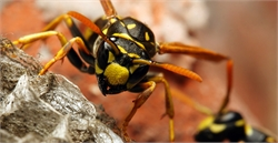 Weeding Out Wasps from Your Home