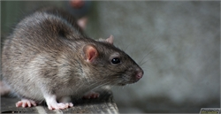 Have a Rat Problem? Watch Out For These Fatal Diseases