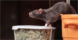 Make Your Home and Office Rats and Mice Free