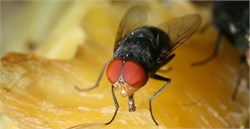 What Illnesses & Diseases do House Flies Spread?