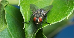 10 Fascinating Facts on Flies