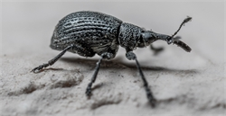 How to Remove Weevils from Your Bedroom?